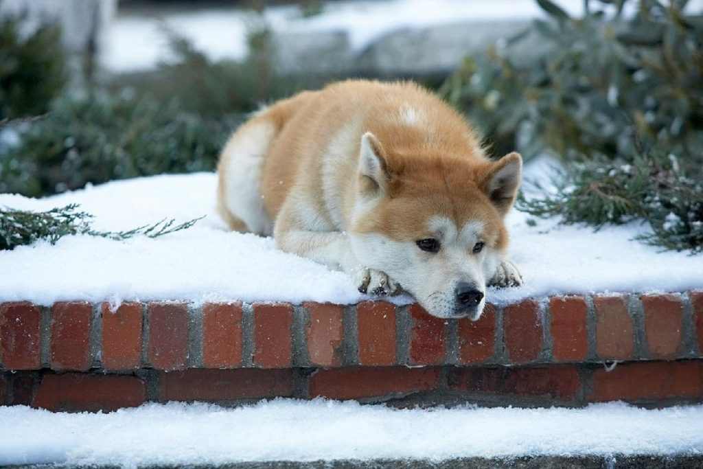 Hachi waits