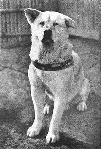 loyal dog Hachiko